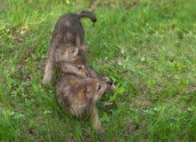 Zuffa di due Wolf Pups (canis lupus) nell'erba Fotografie Stock Libere da Diritti