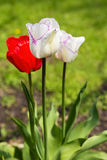Zufällige Gartengruppe weiße Tulpen eingesäumt im Purpur mit rotem t Lizenzfreie Stockfotografie