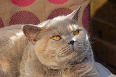 Zufrieden gestellte Zucht- Katze Lizenzfreie Stockfotos