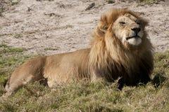 Zufrieden gestellter königlicher Löwe Stockfoto