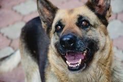 Zufrieden gestellter Schäferhund Stockfotos