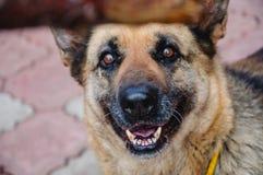 Zufrieden gestellter Schäferhund Stockbild