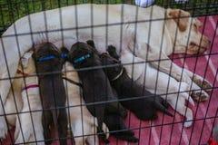Zufuhr mit acht kleine Labrador-Welpen auf ihrer Mutter stockbild