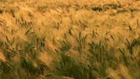 Zugfokus, Hintergrund zum Vordergrund, Klipp 4K des Weizens oder Gerstenfeld, das im Wind bei Sonnenuntergang oder Sonnenaufgang  stock video