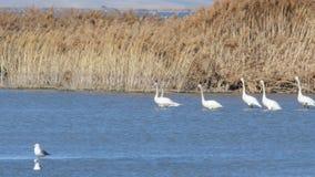 Zugvögel, die im seichten Wasser herumsuchen stock video
