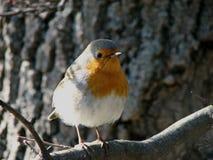 Zugvogel Zaryanka Robin lizenzfreies stockfoto
