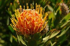 Zuidafrikaans Speldenkussen Protea Stock Afbeelding