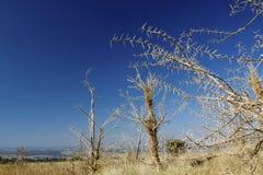 Zuidafrikaanse Acacia's Royalty-vrije Stock Foto's