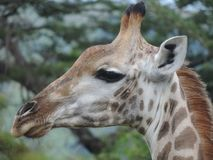 Zuidafrikaanse giraf in Zuid-Afrika royalty-vrije stock foto's
