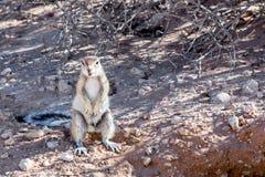 Zuidafrikaanse inauris van Xerus van de grondeekhoorn Royalty-vrije Stock Afbeelding