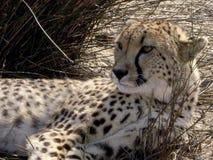 Zuidafrikaanse Jachtluipaard in de Wildernis royalty-vrije stock afbeelding