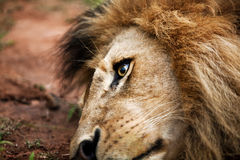 Zuidafrikaanse Leeuw Stock Fotografie