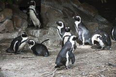 Zuidafrikaanse Pinguins met een rotsachtige achtergrond Stock Fotografie