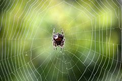 Zuidafrikaanse spin op Web stock fotografie
