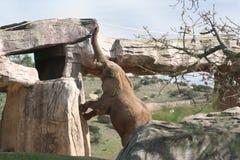 Zuidafrikaanse struikolifant (Loxodonta africana af Stock Afbeeldingen