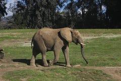 Zuidafrikaanse struikolifant (Loxodonta-africana af Stock Foto's