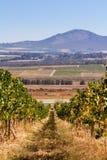 Zuidafrikaanse wijngaard Royalty-vrije Stock Afbeeldingen