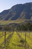 Zuidafrikaanse wijngaard Stock Foto's