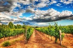 Zuidafrikaanse wijngaarden Stock Fotografie