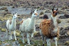 Zuidamerikaanse Lama's royalty-vrije stock foto