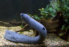 Zuidamerikaanse lungfish Royalty-vrije Stock Afbeelding
