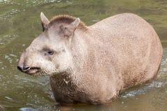 Zuidamerikaanse tapir - hoofd op schot Royalty-vrije Stock Afbeelding