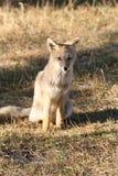 Zuidamerikaanse vos Stock Afbeeldingen