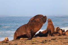 Zuidamerikaanse zeeleeuw Royalty-vrije Stock Foto's