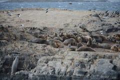 Zuidamerikaanse zeeleeuw, stock foto