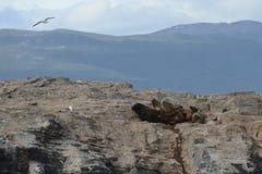 Zuidamerikaanse zeeleeuw, stock afbeeldingen