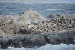 Zuidamerikaanse zeeleeuw, Otaria flavescens, het kweken kolonie en haulout op kleine eilandjes enkel buitenkant Ushuaia stock foto