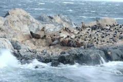 Zuidamerikaanse zeeleeuw, Otaria flavescens, het kweken kolonie en haulout op kleine eilandjes enkel buitenkant Ushuaia stock fotografie