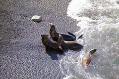 Zuidamerikaanse zeeleeuwen Otaria flavescens op het strand in Punta Loma, Argentinië Royalty-vrije Stock Foto