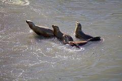 Zuidamerikaanse zeeleeuwen Otaria flavescens op het strand in Punta Loma, Argentinië Stock Fotografie
