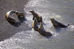 Zuidamerikaanse zeeleeuwen Otaria flavescens op het strand in Punta Loma, Argentinië Stock Foto's