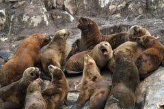 Zuidamerikaanse zeeleeuwen, Tierra del Fuego royalty-vrije stock afbeelding