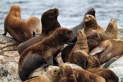 Zuidamerikaanse zeeleeuwen, Tierra del Fuego royalty-vrije stock afbeeldingen