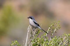 Zuidelijk die Grey Shrike bovenop een struik wordt neergestreken Royalty-vrije Stock Foto's