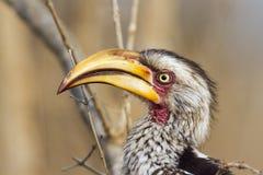 Zuidelijk geel-gefactureerd hornbill in het Nationale park van Kruger stock afbeeldingen