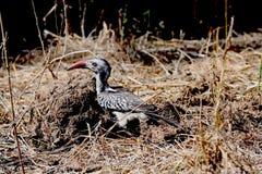 Zuidelijk gefactureerd rood hornbill stock foto's