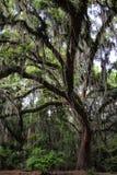 Zuidelijk Live Oak Tree With Spanish-Mos Royalty-vrije Stock Foto's