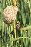 Zuidelijk Rood Bischopwijfje bij nest 2 Royalty-vrije Stock Fotografie