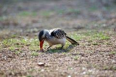 Zuidelijk rood-gefactureerd hornbill in het Nationale Park van Pilanesberg Royalty-vrije Stock Foto