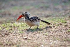 Zuidelijk rood-gefactureerd hornbill in het Nationale Park van Pilanesberg Royalty-vrije Stock Fotografie