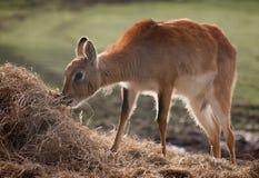 Zuidelijke Antilope Lechwe Royalty-vrije Stock Fotografie