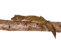 Zuidelijke blad-de steel verwijderde van gekko op wit stock afbeelding