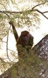 Zuidelijke-bruine brulaap, südlicher brauner Summer, Alouatta guari stockfotos