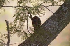 Zuidelijke-bruine brulaap, südlicher brauner Summer, Alouatta guari stockbilder
