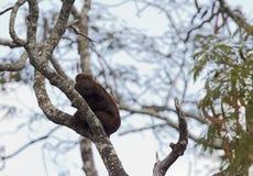 Zuidelijke-bruine brulaap, südlicher brauner Summer, Alouatta guari lizenzfreie stockfotografie