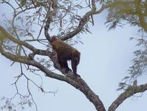 Zuidelijke-bruine brulaap, südlicher brauner Summer, Alouatta guari lizenzfreie stockbilder